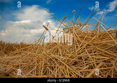 Wheat Stubble on Freshly Harvested Field of Wheat Against Blue Sky With White Clouds - Stock Photo