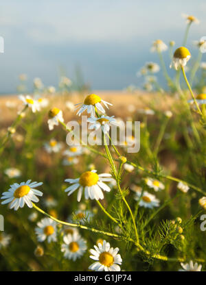 Daisy flowers on field with white clouds and blue sky in background - Stock Photo