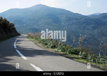 Common asphodel Asphodelus aestivus growing on roadside verge near Valpajola Corsica France - Stock Photo