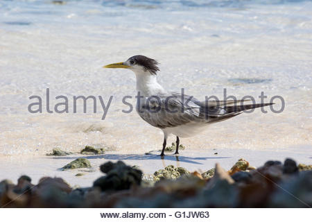 Greater crested tern - Thalasseus bergii - also known as crested tern or swift tern - Stock Photo