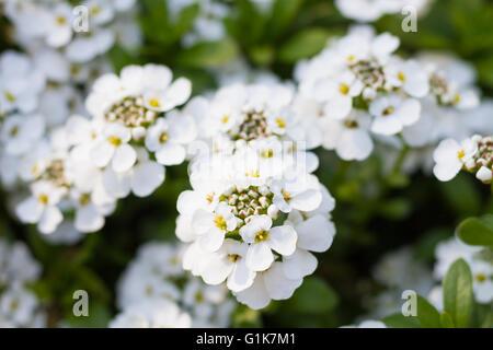 Macro of an evergreen candytuft - Iberis sempervirens - Stock Photo