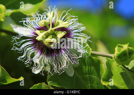 Passion fruit flower - Stock Photo