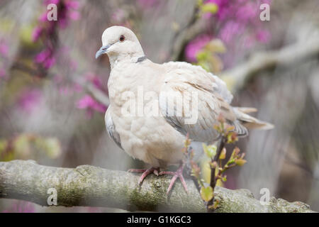 Eurasian collared dove, Streptopelia decaocto, perched on a branch of a peach tree in blossoms - Stock Photo