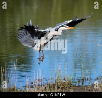 Grey Heron in flight, fishing, feeding - Stock Photo