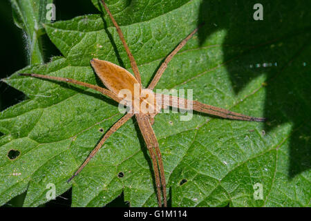 Nursery web spider (Pisaura mirabilis) on leaf in bush - Stock Photo