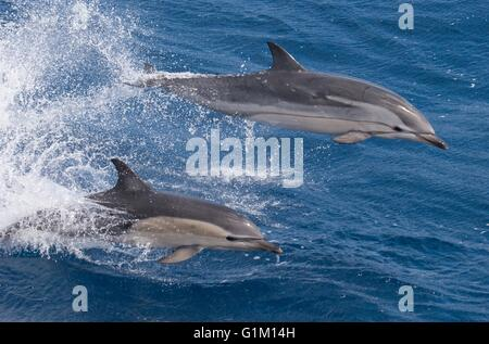 A short beaked common dolphin swims alongside a striped dolphin in the Pacific Ocean. - Stock Photo