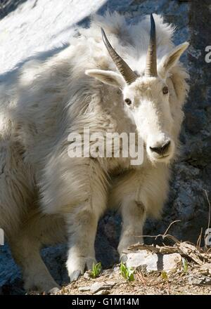 A Rocky Mountain goat nanny along the Elkhorn Crest hiking trail in the Elkhorn mountains in Oregon. - Stock Photo