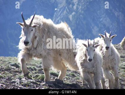 A Rocky Mountain goat nanny with kids in the Wallowa Mountains of Lostine Wildlife Area in Oregon. - Stock Photo
