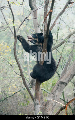 Spectacled Bear (Tremarctos ornatus) 2-year old female, Chaparri Reserve, Lambayeque Province, Peru - Stock Photo