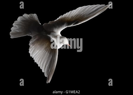 Stuffed white dove in flight against black - Stock Photo