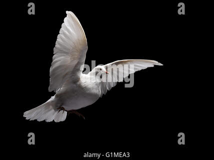 Stuffed white dove in flight, against black - Stock Photo