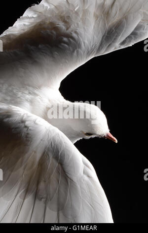 Stuffed white dove in flight, detail against black - Stock Photo