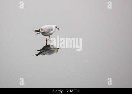 A young black-headed gull (Chroicocephalus ridibundus) walking on ice in winter. - Stock Photo