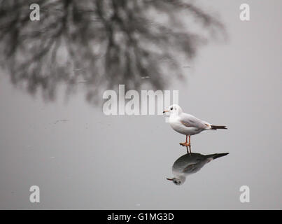 A young black-headed gull (Chroicocephalus ridibundus) walking on ice in winter. The reflection of a bare winter - Stock Photo