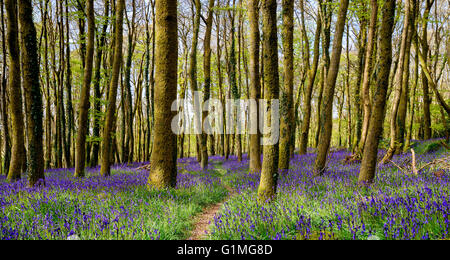 Beautiful spring bluebell woods near Redruth in Cornwall - Stock Photo