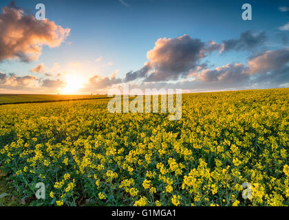 Stunning sunset over fields of yellow canola growing near Newquay in the Cornwalll countryside - Stock Photo