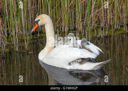Mute Swan Cygnus olar with newly hatched Cygnets - Stock Photo