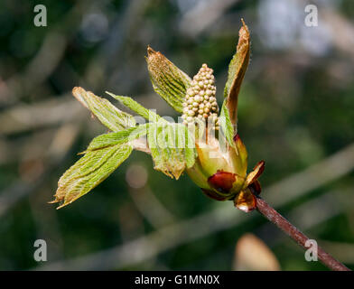 Horse Chestnut flower bud and leaves. Hurst Meadows, West Molesey, Surrey, England. - Stock Photo