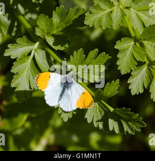 Orange Tip butterfly (male). West End Common, Esher, Surrey, England. - Stock Photo