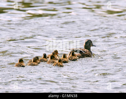 Mallard duck with ten ducklings.  River Thames, West Molesey, Surrey, England. - Stock Photo