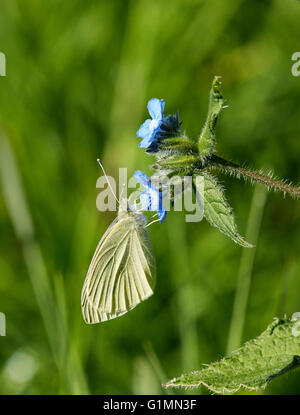 Small White butterfly nectaring on Green Alkanet flower. Hurst Meadows, West Molesey, Surrey, England. - Stock Photo