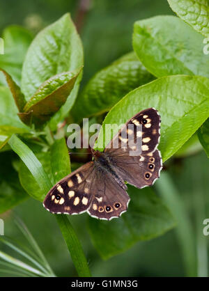 Speckled Wood butterfly.  Hurst Meadows, West Molesey, Surrey, England. - Stock Photo