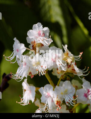 Horse Chestnut blossom. Hurst Meadows, West Molesey, Surrey, England. - Stock Photo