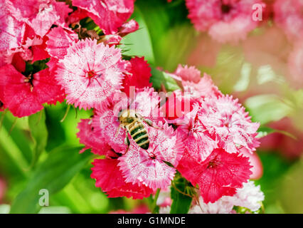 Bee on nice pink flowers at sunny summer day - Stock Photo