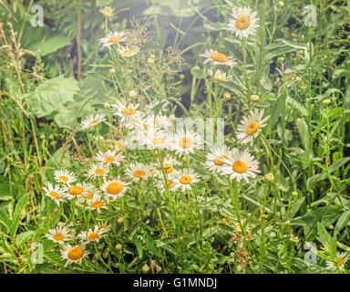 Beauty flowers of daisies in forest at sunny day - Stock Photo