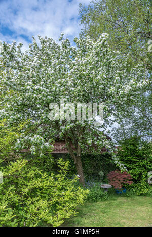 Apple tree in full bloom pink blossom flowers blue sky for Domestica in svizzera
