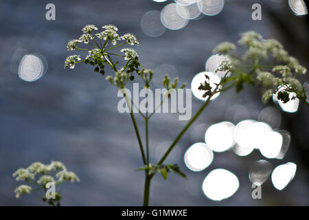 Anthriscus sylvestris,  cow parsley on river bank - Stock Photo