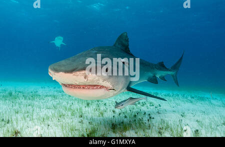 Tiger shark, galeocerdo cuvier, underwater in The Bahamas, Caribbean - Stock Photo