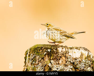 Meadow Pipit looking for food. - Stock Photo