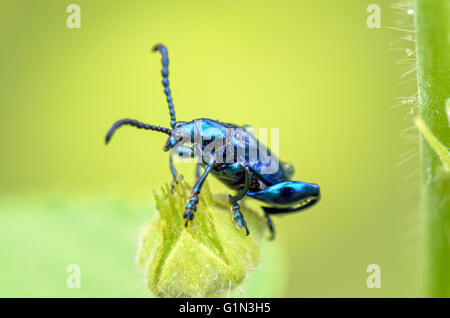 Close up Chrysolina coerulans beetle with shiny metallic blue on grass flower - Stock Photo