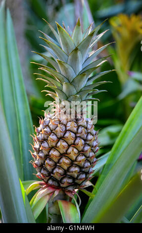 Close up of growing pineapple plant - Stock Photo