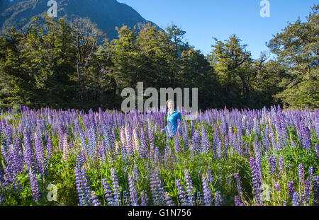 Russell Lupin flowers in New Zealand - Stock Photo