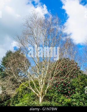 Silver Birch tree ( betula pendula ) during early spring - Stock Photo