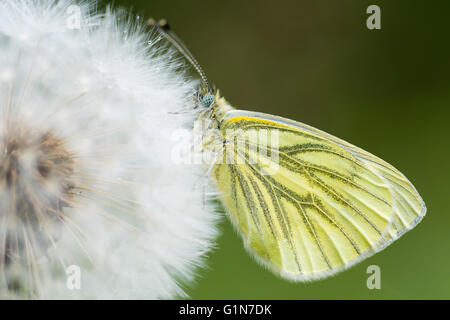 Green-veined white (Pieris napi) on dandelion seedhead. Butterfly in the family Pieridae at rest with wings closed - Stock Photo