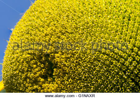Sunflower seeds petals and stamens macro on blue sky background - Stock Photo