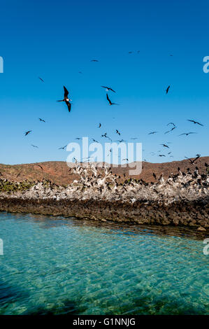 Frigate birds fill sky above turquoise water at a rookery. Isla Espiritu Santo in the Sea of Cortez / Cortes,  Baja - Stock Photo