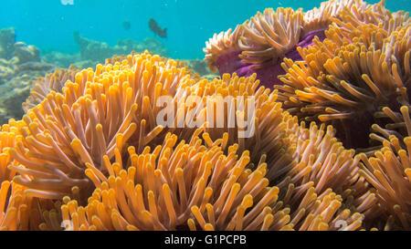 Anemone, Marsa Alam, Egypt