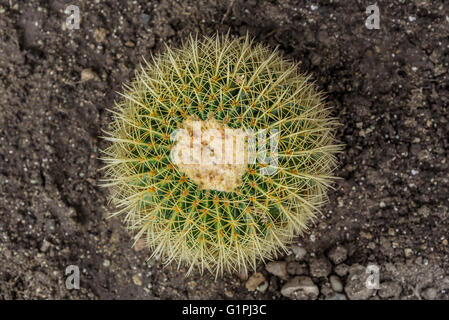 Round cactus in the ground. View from above. - Stock Photo