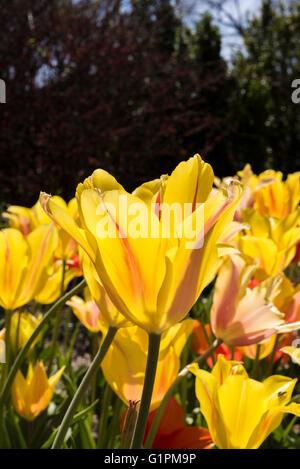Yellow tulip in full bloom - Stock Photo