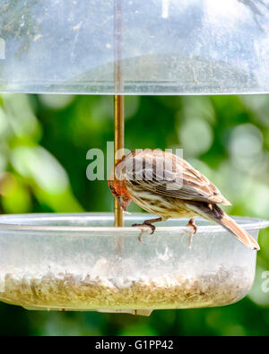 A male House Finch,Carpodacus mexicanus, eating from a safflower seed feeder. Oklahoma, USA. - Stock Photo