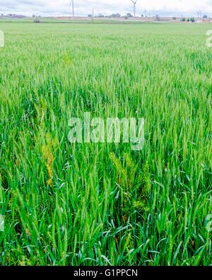 A green wheat field closeup showing weeds growing among the wheat. Oklahoma, USA. - Stock Photo