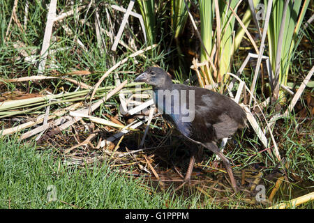 Juvenile purple swamp hen porphyria porphyria  chick standing   in the green grass  near the lake in Big Swamp  - Stock Photo