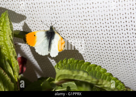 Orange Tip (male) butterfly, Anthocharis cardamines, resting on a cricket sunscreen at Durham, England. - Stock Photo