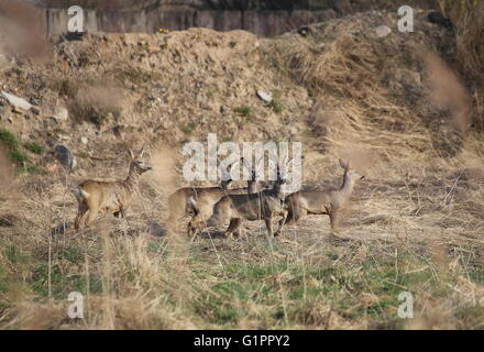 Small herd of roe deer (Capreolus capreolus) standing in front of earth heap and watching alarmed. - Stock Photo