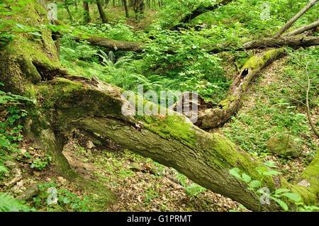 An old tree trunk lying in green forest - Stock Photo