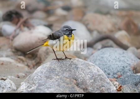 Grey wagtail (Motacilla cinerea) on a rock - Stock Photo